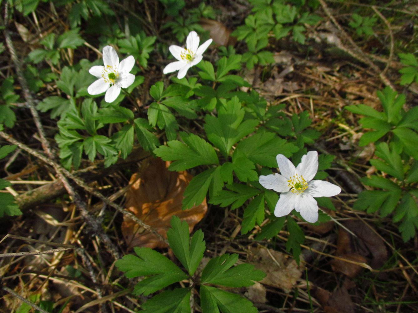 Busch-Windröschen (Anemone nemorosa) | Familie: Hahnenfußgewächse (Ranunculaceae) | giftig!
