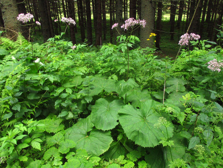 Grauer Alpendost (Adenostyles alliariae) | Familie: Korbblütler (Asteraceae)