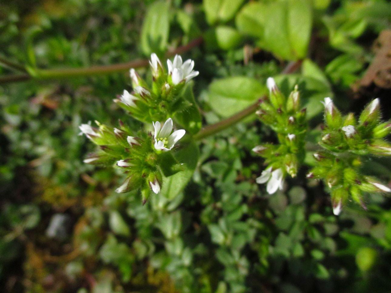 Knäuel-Hornkraut (Cerastium glomeratum) | Familie: Nelkengewächse (Caryophyllaceae)