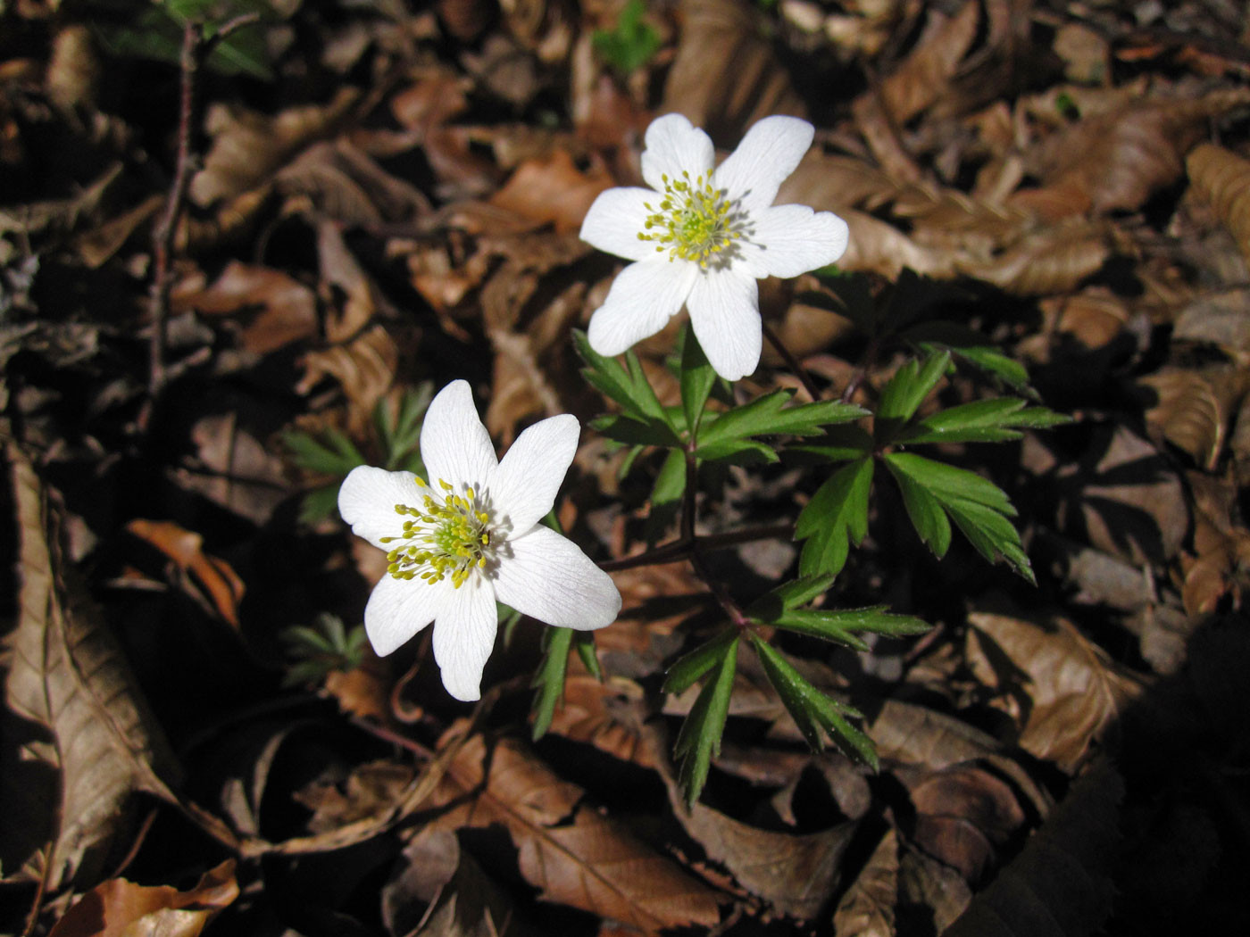 Busch-Windröschen (Anemone nemorosa) | HAHNENFUSSGEWÄCHSE (Ranunculaceae) | giftig!