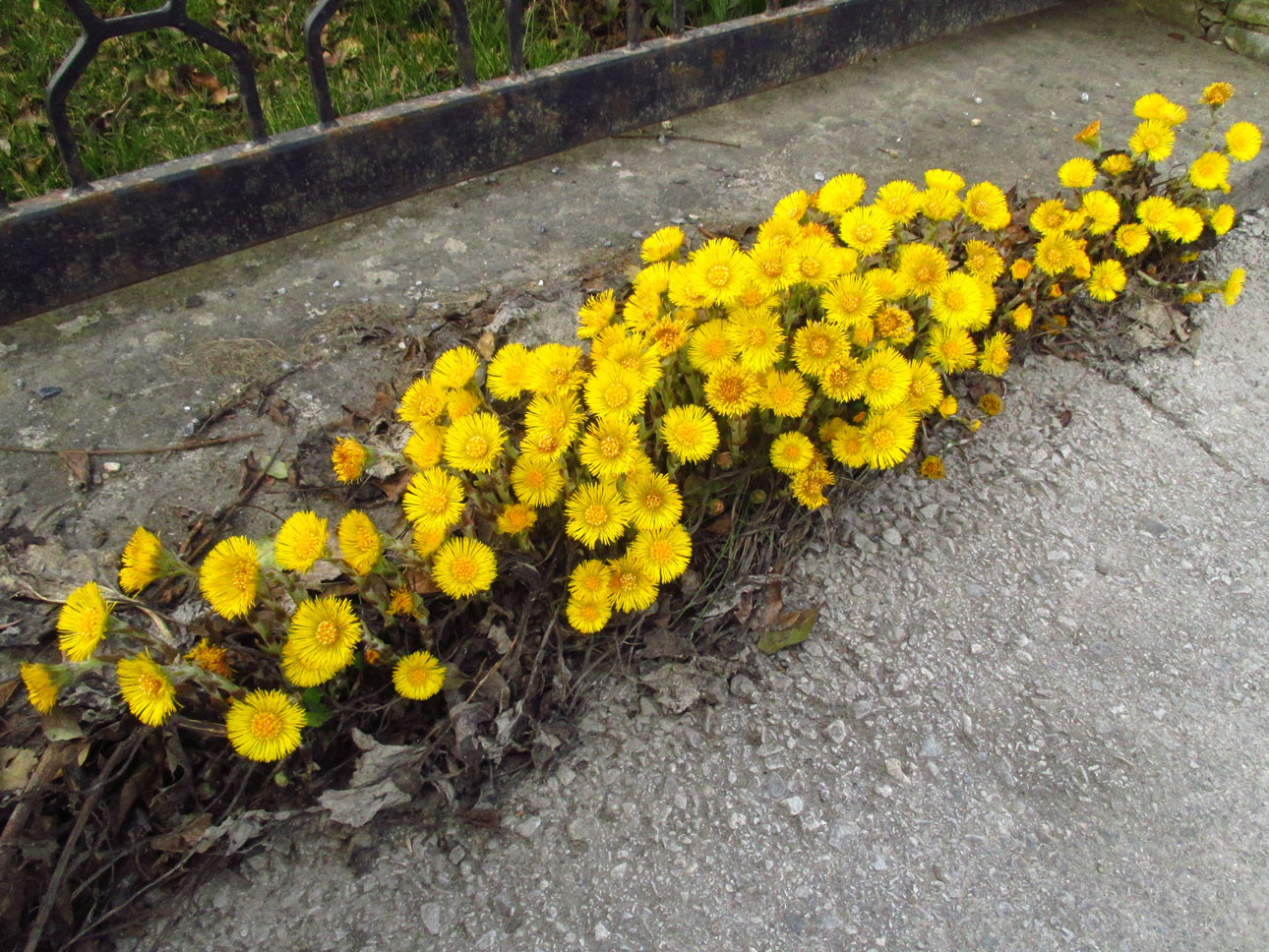 Huflattich (Tussilago farfara) | Familie: Korbblütler (Asteraceae)