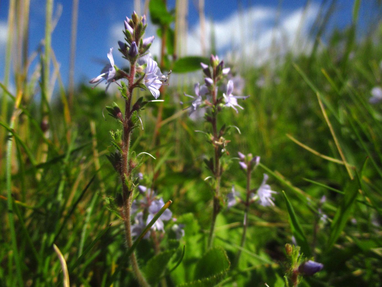 Arznei-Ehrenpreis (Veronica officinalis) | Familie: Wegerichgewächse (Plantaginaceae)