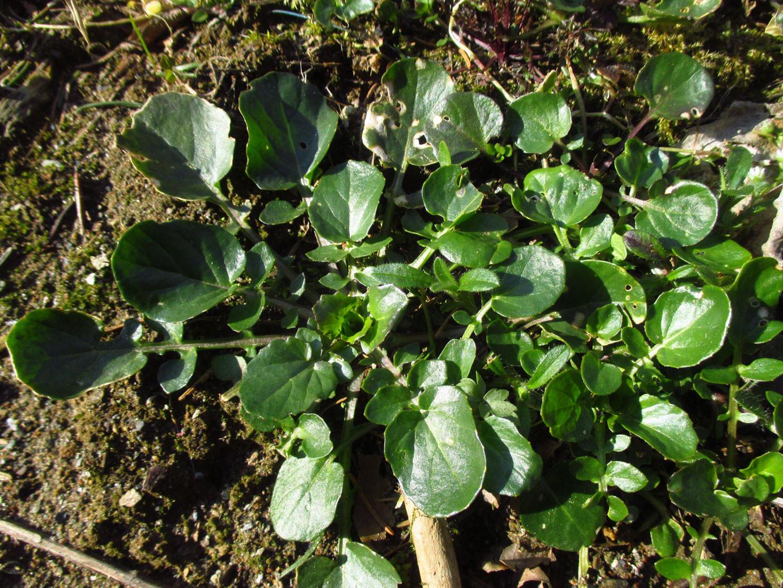 Echte Barbarakresse (Barbarea vulgaris) | Familie: Kreuzblütler (Brassicaceae)