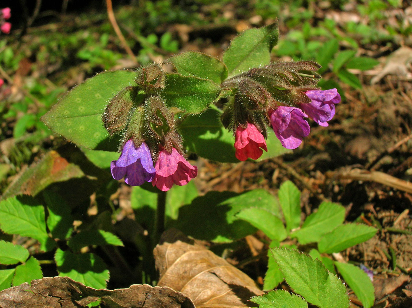 Echtes Lungenkraut (Pulmonaria officinalis) | RAUHBLATTGEWÄCHSE (Boraginaceae)