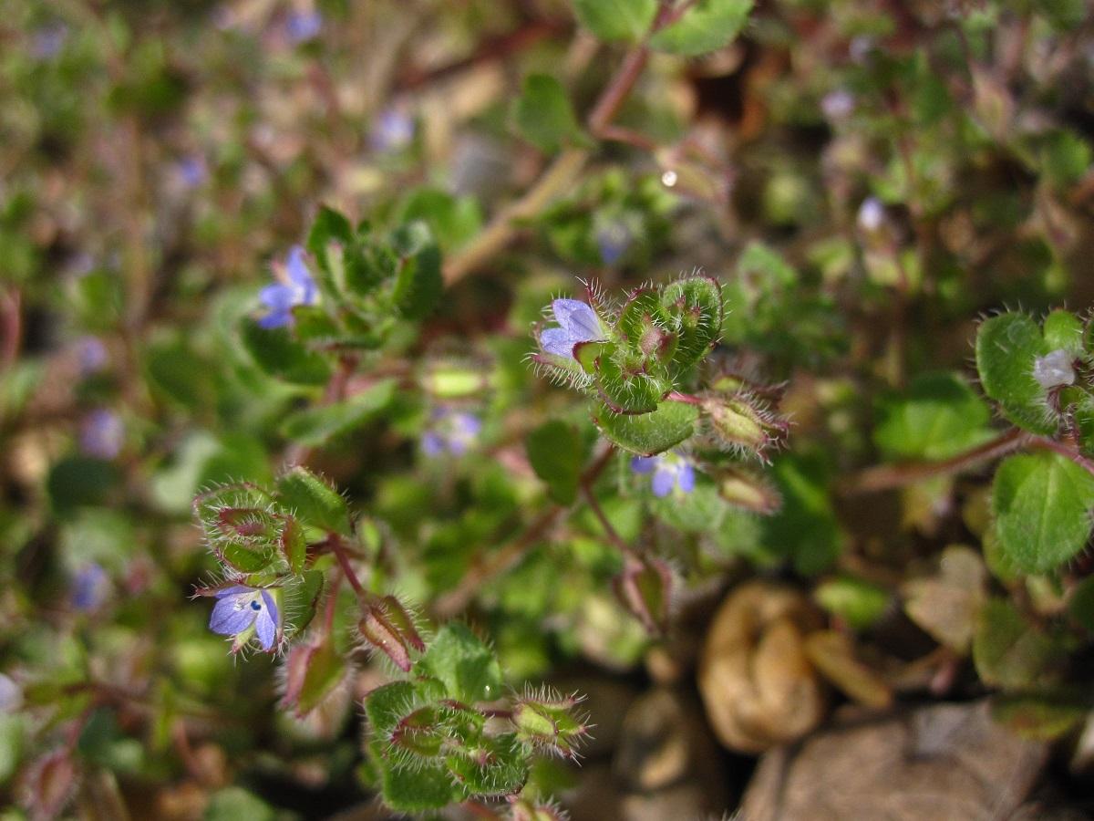 Efeu-Ehrenpreis (Veronica hederifolia)   Wegerichgewächse (Plantaginaceae)