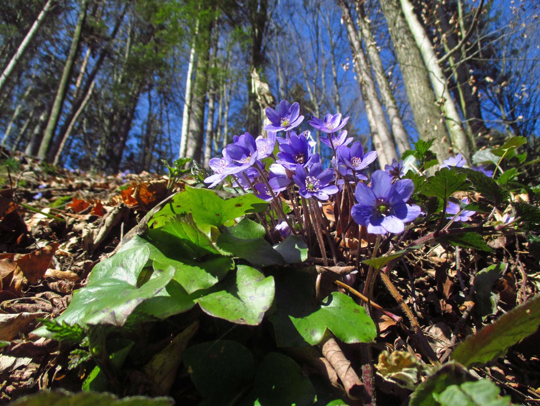 Leberblümchen (Hepatica nobilis) | Familie: Hahnenfußgewächse (Ranunculaceae) | giftig!