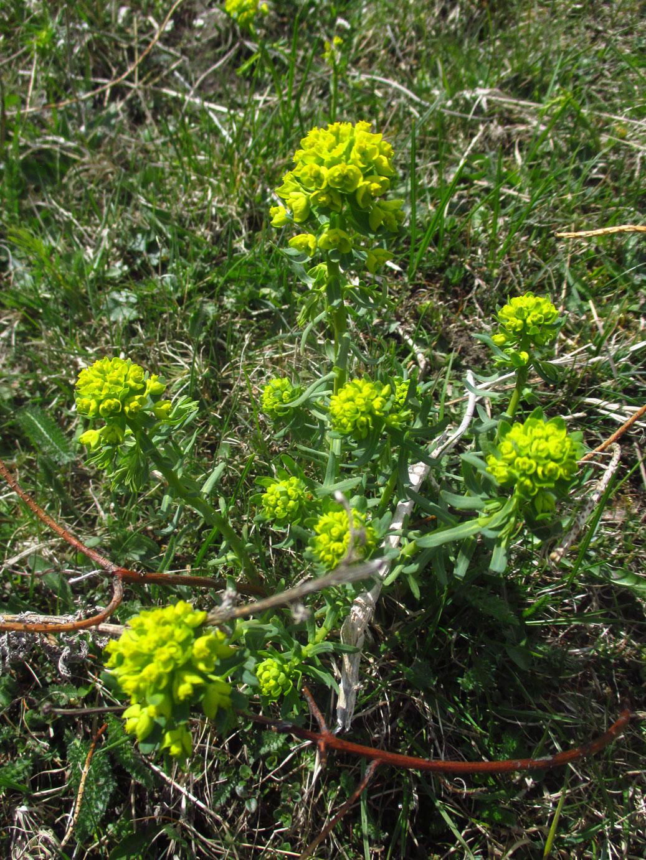 Zypressen-Wolfsmilch (Euphorbia cyparissias) | Familie: Wolfsmilchgewächse