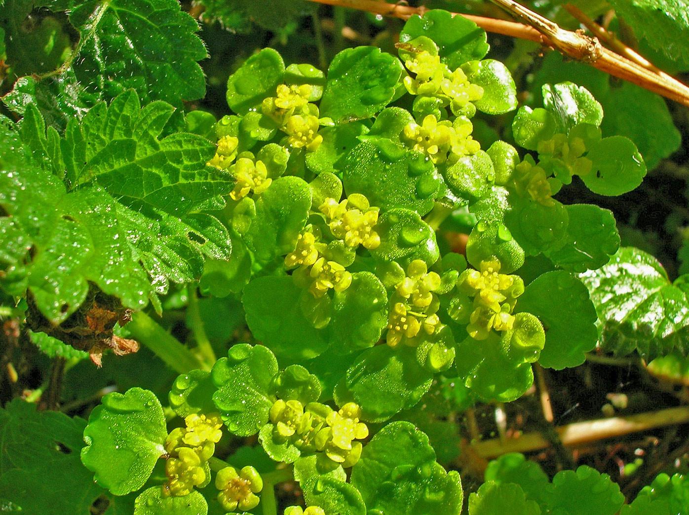 Wechselblättriges Milzkraut (Chrysosplenium alternifolium) | STEINBRECHGEWÄCHSE (Saxifragaceae)