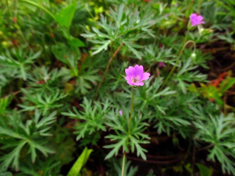 Tauben-Storchschnabel (Geranium columbinum) | Familie: Storchschnabelgewächse (Geraniaceae)