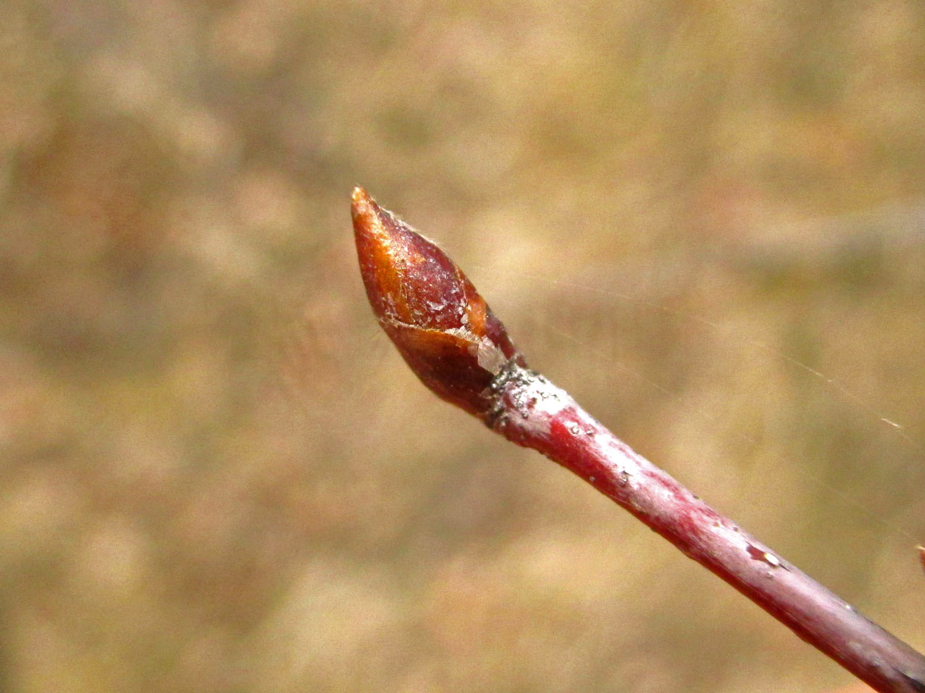 Hänge-Birke (Betula pendula) | Familie: Birkengewächse (Betulaceae)