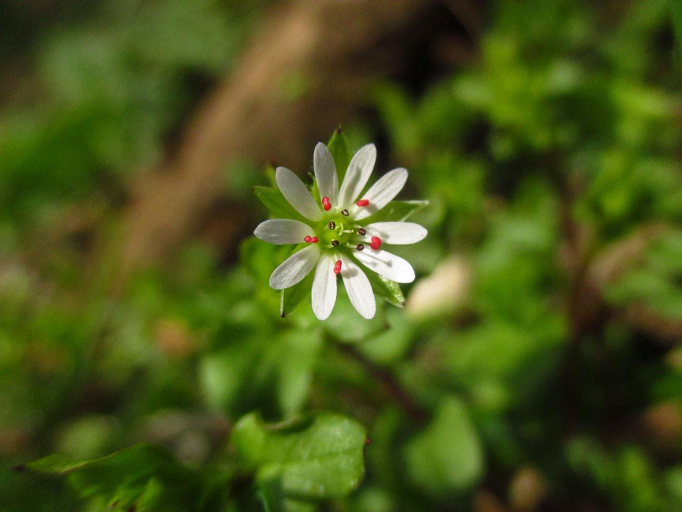 Großblütige Vogelsternmiere (Stellaria neglecta) | Familie: Nelkengewächse (Caryophyllaceae)