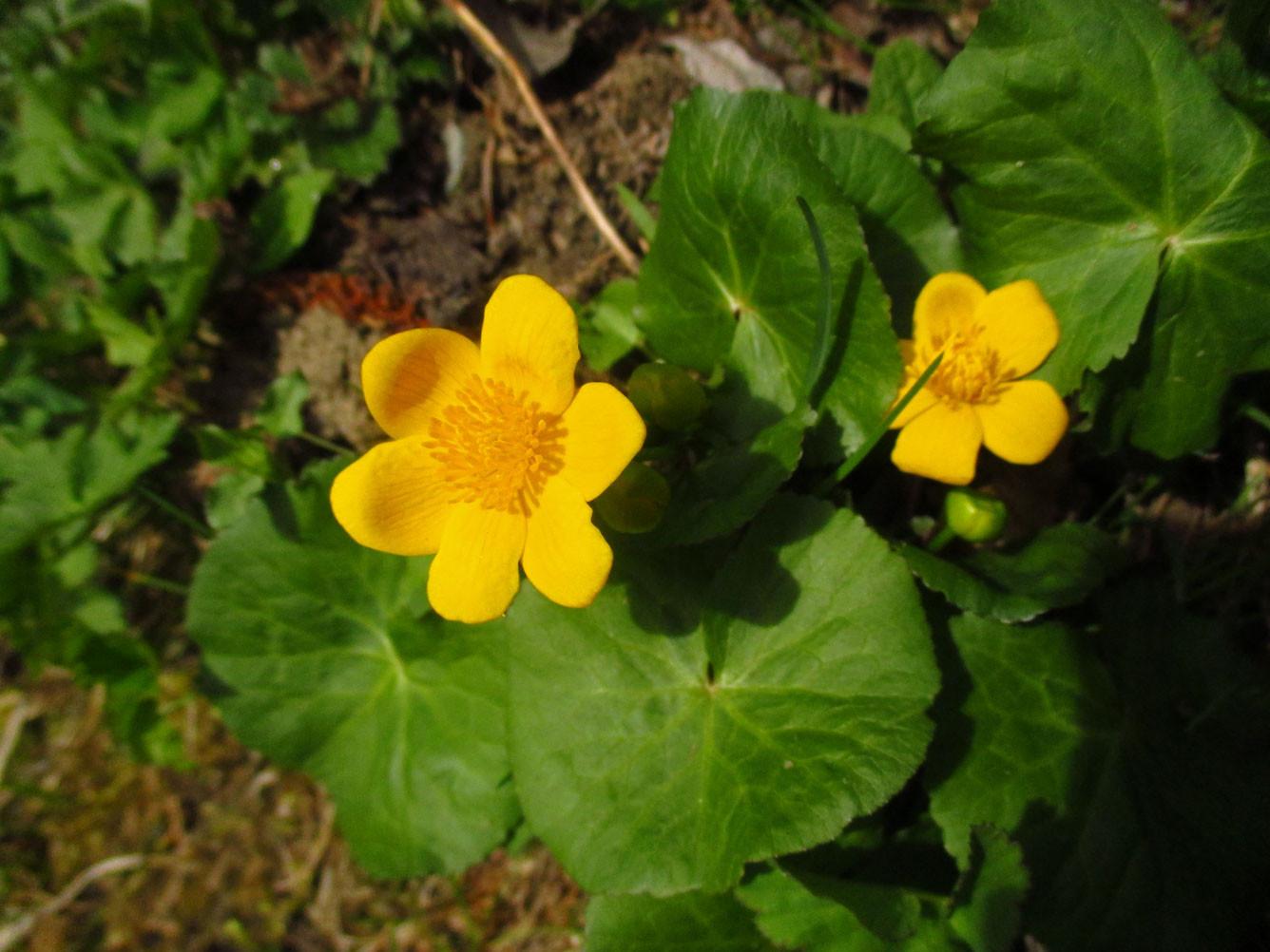 Sumpfdotterblume (Caltha palustris) | Familie: Hahnenfußgewächse (Ranunculaceae)