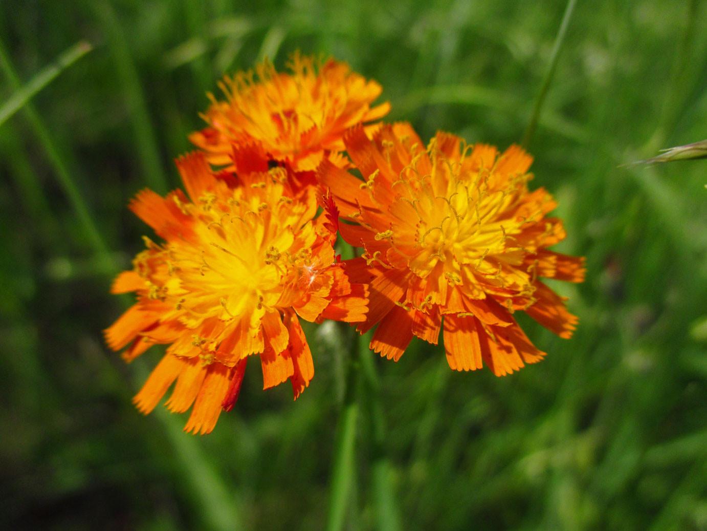 Orange-Habichtskraut (Hieracium aurantiacum) | KORBBLÜTLER (Asteraceae)