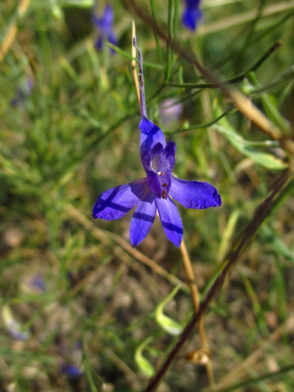 Gewöhnlicher Feldritterspron (Consolida regalis) | HAHNENFUSSGEWÄCHSE (Ranunculaceae) | giftig!