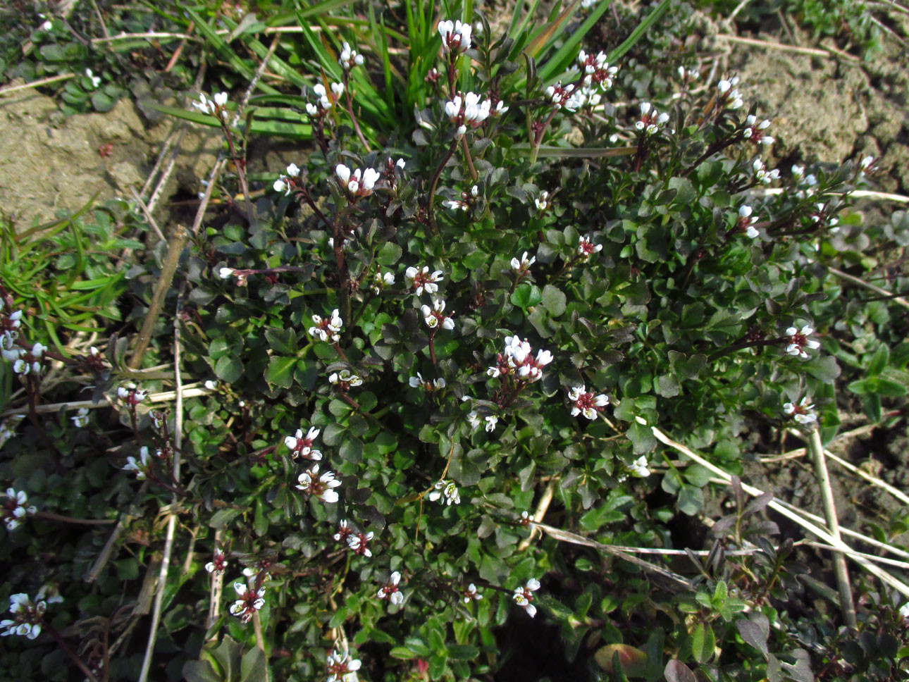 Ruderal-Schaumkraut (Cardamine hirsuta) | Familie: Kreuzblütler (Brassicaceae)