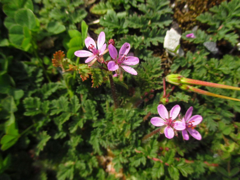 Gewöhnlicher Reiherschnabel (Erodium cicutarium) | Familie: Storchschnabelgewächse (Geraniaceae)