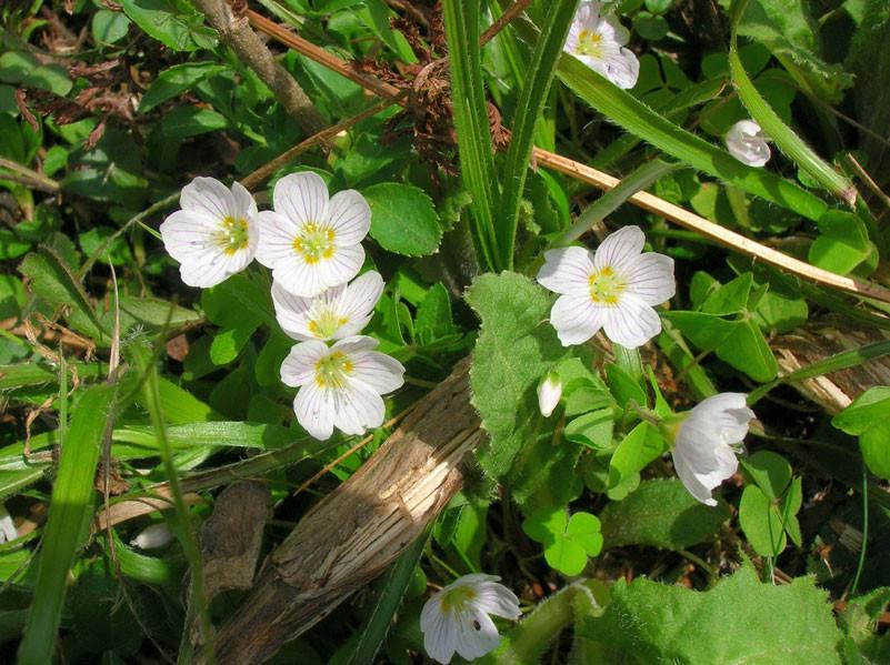 Wald-Sauerklee (Oxalis acetosella) | SAUERKLEEGEWÄCHSE (Oxalidaceae)