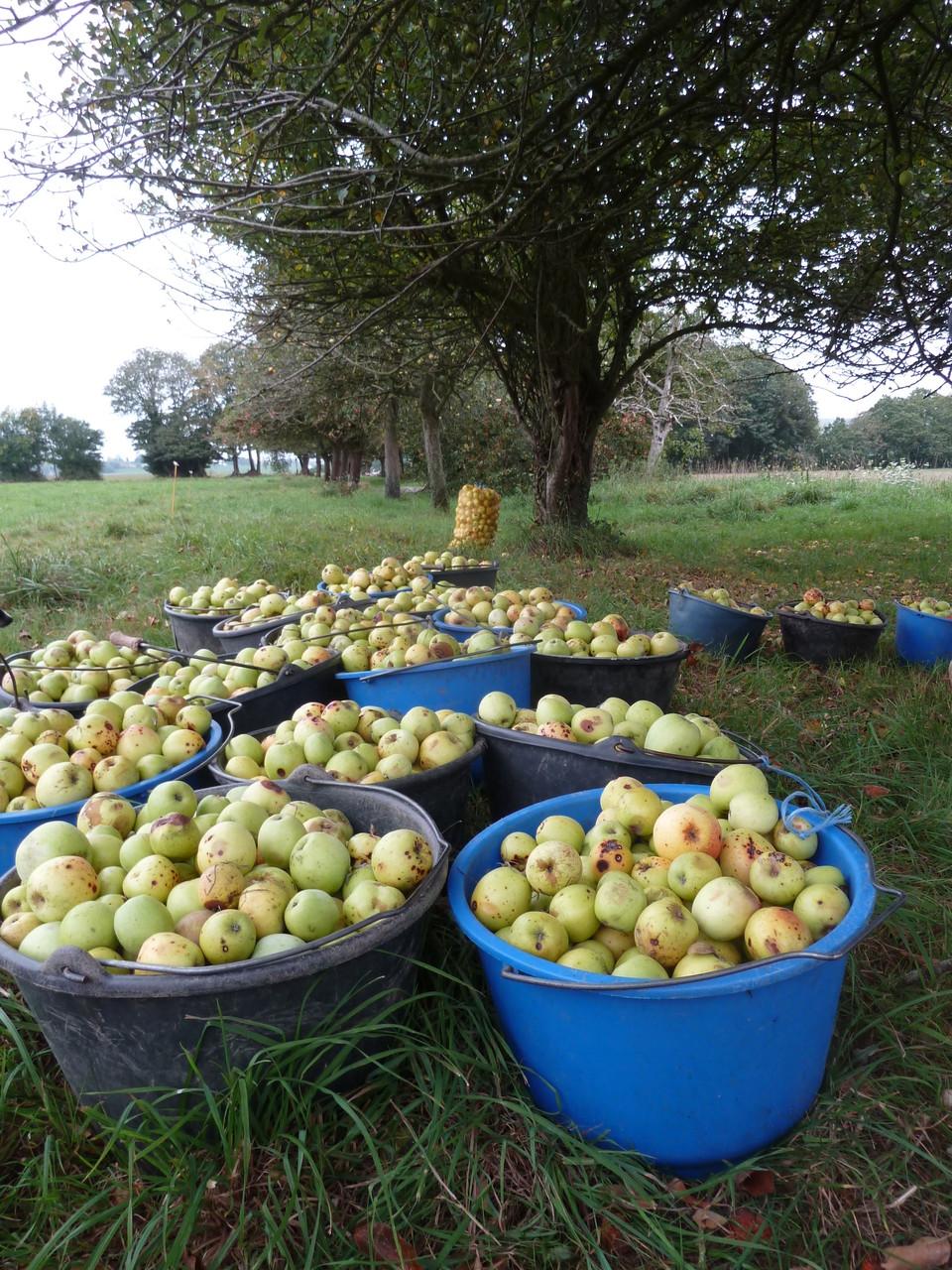 Récolte de pommes pour les jus