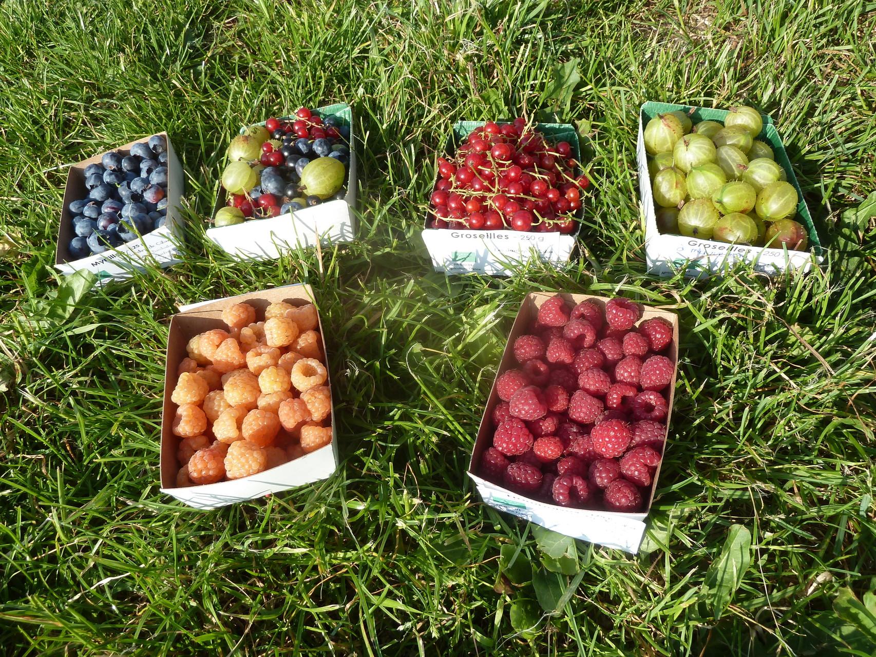 Des barquettes de petits fruits