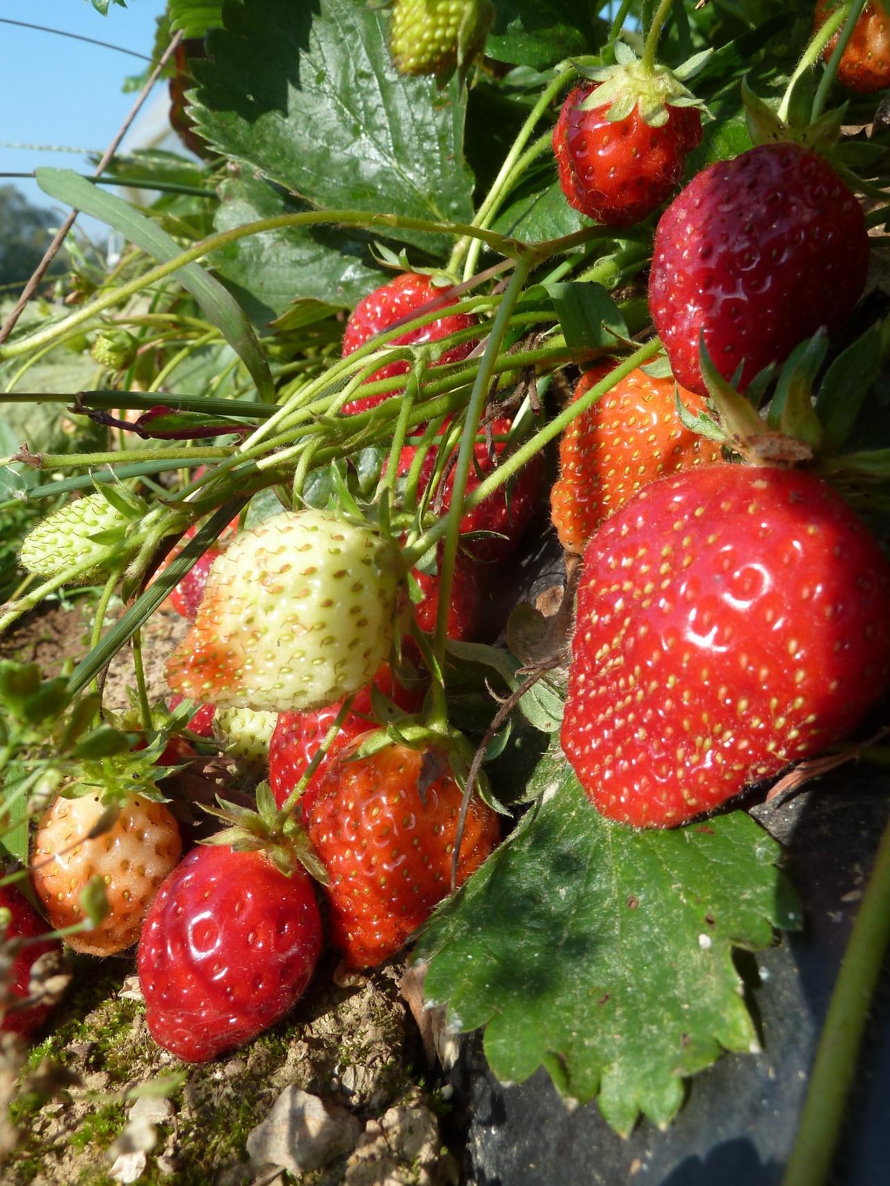 Les fraises de la ferme... à goûter !