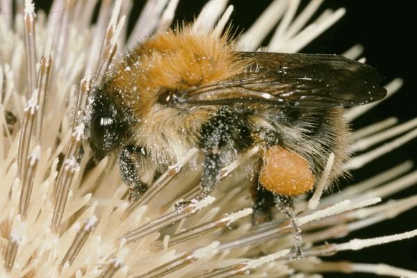 Рабочая особь. Entomologie/Botanik, ETH Zürich / Fotograf: Albert Krebs. CC BY-SA 4.0