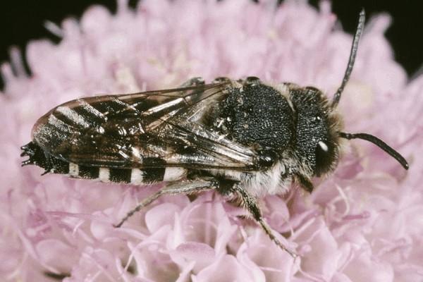 Самец. Entomologie/Botanik, ETH Zürich / Fotograf: Albert Krebs. CC BY-SA 4.0