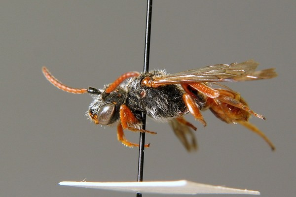 Самка. H. Wolf. ZSM Entomology - Hymenoptera Image Archive