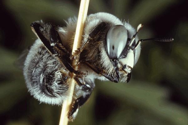 Старый самец. Entomologie/Botanik, ETH Zürich / Fotograf: Albert Krebs. CC BY-SA 4.0