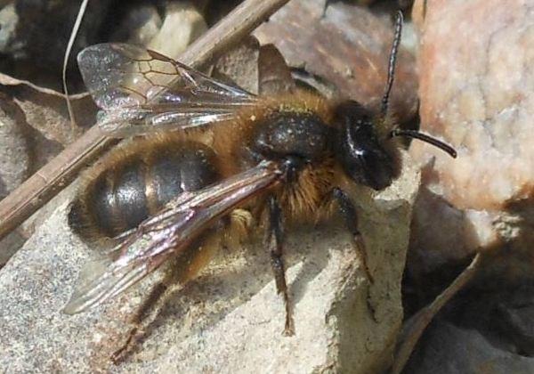 Photo © Gomjabar35 / Galerie du Monde des insectes / www.galerie-insecte.org. CC BY-NC (2019)