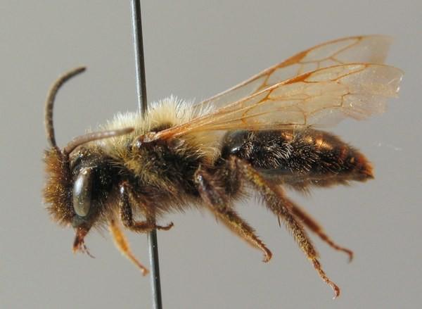 Самка. Stoeckhert. ZSM Entomology - Hymenoptera Image Archive