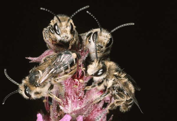 Самцы. Entomologie/Botanik, ETH Zürich / Fotograf: Albert Krebs. CC BY-SA 4.0