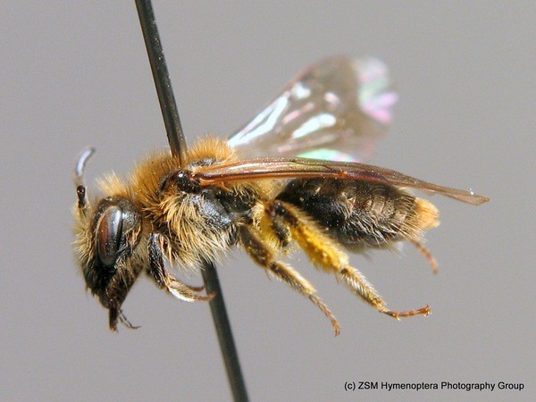 Самка. C. Schmid-Egger. ZSM Entomology - Hymenoptera Image Archive