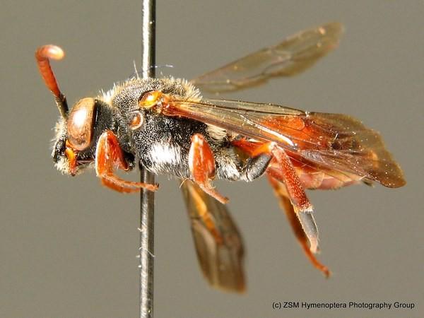 C. Schmid-Egger. ZSM Entomology - Hymenoptera Image Archive