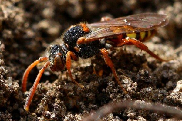 Photo © Jean-François Campion / Galerie du Monde des insectes / www.galerie-insecte.org. CC BY-NC (2019)