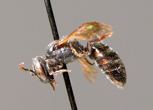 Самка. B. Bembe. ZSM Entomology - Hymenoptera Image Archive