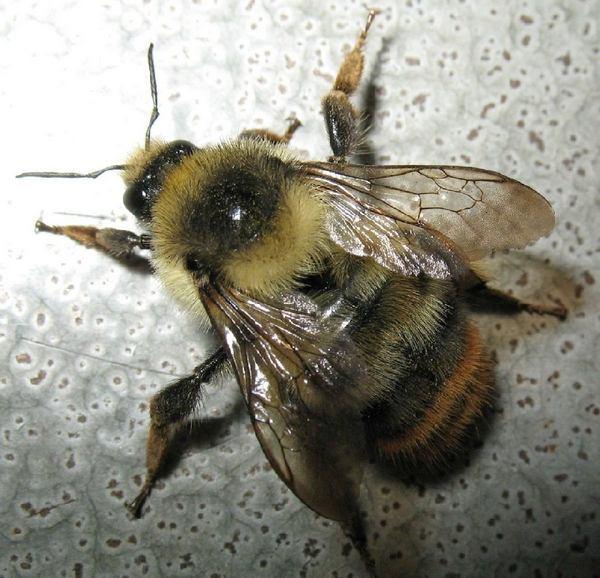 Photo © Axel Dehalleux / Galerie du Monde des insectes / www.galerie-insecte.org. CC BY-NC (2019)