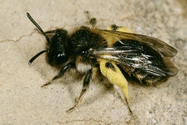 Самка. Entomologie/Botanik, ETH Zürich / Fotograf: Albert Krebs. CC BY-SA 4.0