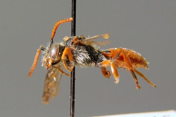 Самец. C. Schmid-Egger. ZSM Entomology - Hymenoptera Image Archive