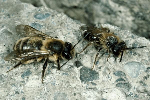 Самка и самец. Entomologie/Botanik, ETH Zürich / Fotograf: Albert Krebs. CC BY-SA 4.0