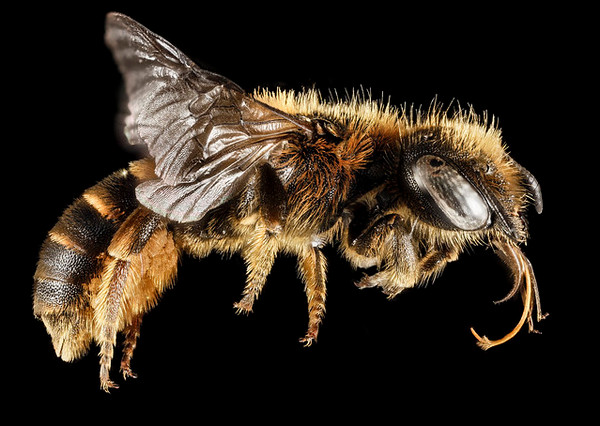 Photography by Brooke Alexander / USGS Bee Inventory and Monitoring Lab / Flickr. Public domain