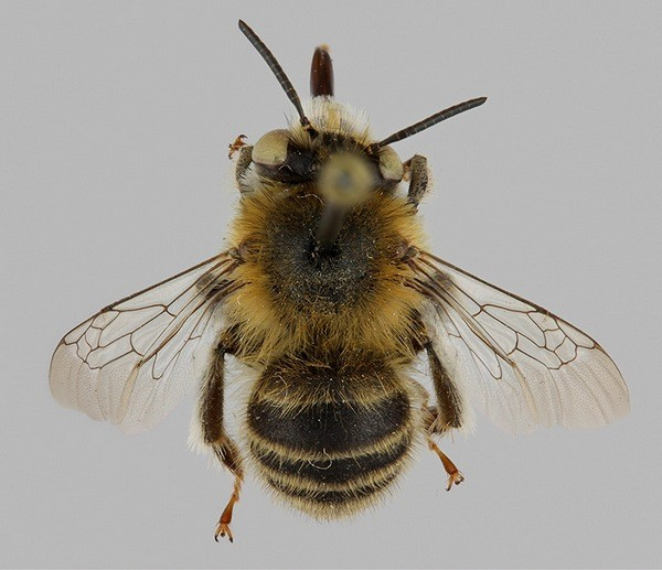 Самец. Photo © Pekka Malinen 2009. Free for non-commercial use.