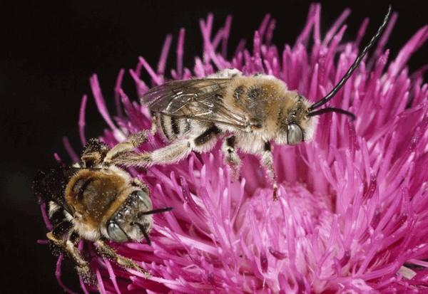 Самец и самка. Entomologie/Botanik, ETH Zürich / Fotograf: Albert Krebs. CC BY-SA 4.0