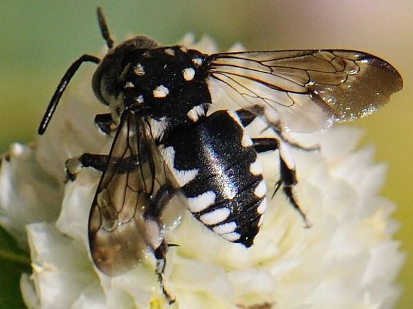 Photo © Prisca / Galerie du Monde des insectes / www.galerie-insecte.org. CC BY-NC (2019)