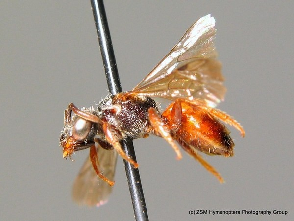 Самка. O. Niehuis. ZSM Entomology - Hymenoptera Image Archive