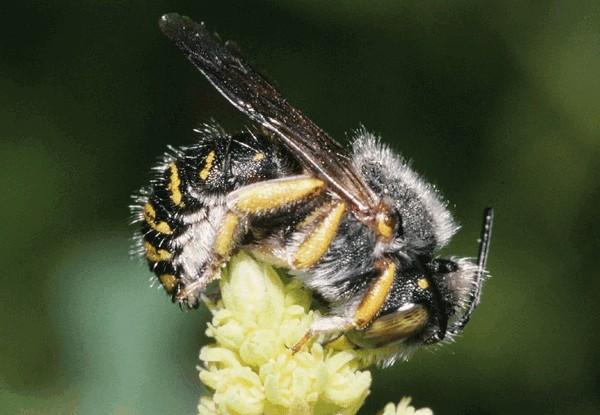 Спящий самец. Entomologie/Botanik, ETH Zürich / Fotograf: Albert Krebs. CC BY-SA 4.0