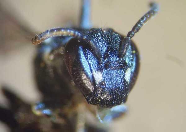 Photo © fdttl / Galerie du Monde des insectes / www.galerie-insecte.org. CC BY-NC 4.0