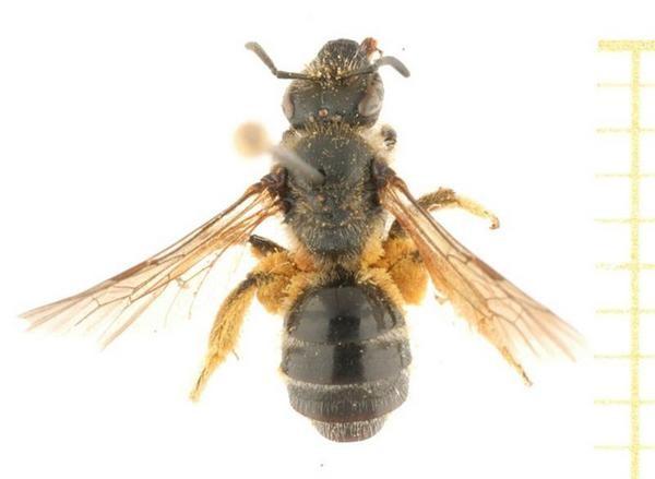 Photo Pauly A. at Atlas Hymenoptera www.atlashymenoptera.net