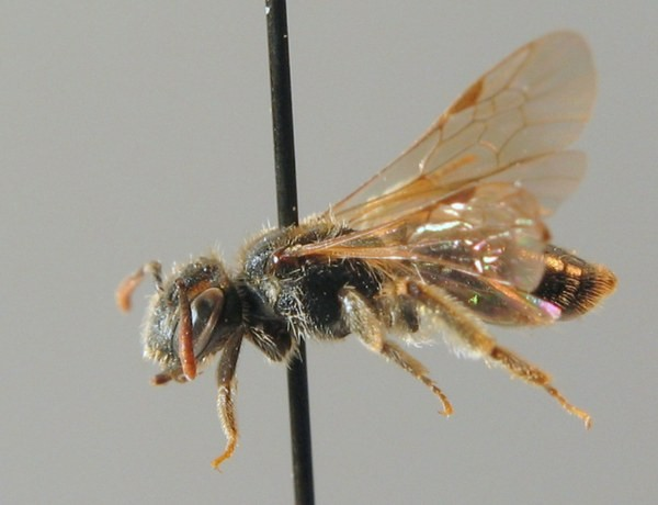 Самка. A.W. Ebmer. ZSM Entomology - Hymenoptera Image Archive