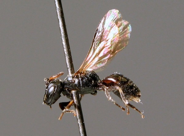 Самка. M. Kraus. ZSM Entomology - Hymenoptera Image Archive