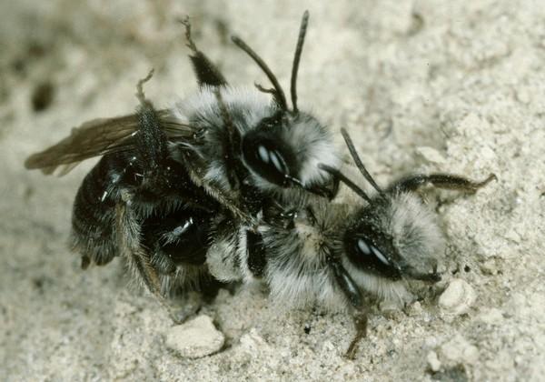 Копуляция. Entomologie/Botanik, ETH Zürich / Fotograf: Albert Krebs. CC BY-SA 4.0